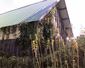 Cold Stream Farm - are you a Virginia Creeper lover?