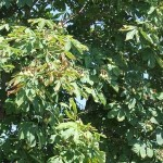 Chestnut Tree with Nuts