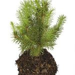 Evergreen Planting Tips