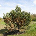 Sickly Spruce Tree