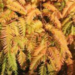 Dawn Redwood in Autumn