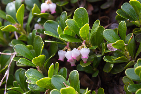 Bearberry Plants