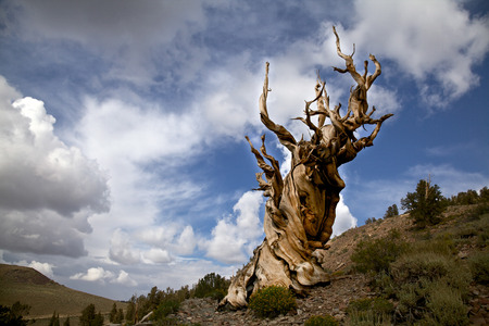 Long-Lasting Trees: What Are the Oldest Known Trees?
