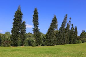 Scientists Unlock Mystery of Leaning Pine Trees
