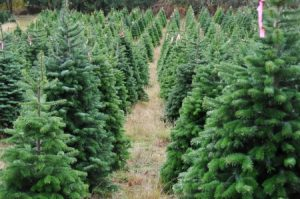 Did You Know Michigan is a Leading Producer of Christmas Trees?
