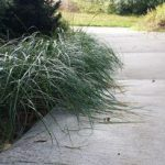 Decorative Beachgrass