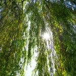 Leaves of a Weeping Willow Against Sky