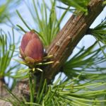 Picture of a Larch Tree