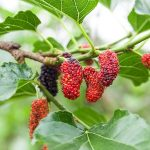 Berries on the Inside of a Mulberry Tree