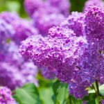 Rich Green and Purple Spring Lilac Flowers