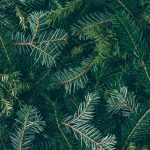 Different Species of Evergreen Trees + Planting Tips