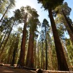 Sequoia Trees standing tall