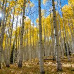 Aspen trees in forest for shade