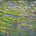 Vine plant growing alongside wall