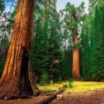 Dawn Redwoods
